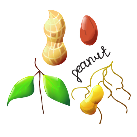 Vector botanical illustration with an isolated peanut, shell and leaf. Perfect cartoon design for cooking oil label, logo, ice cream or chocolate cover, recipe, biology book or poster