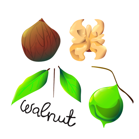 Vector botanical illustration with an isolated walnut, shell and leaf. Perfect cartoon design for cooking oil label, logo, ice cream or chocolate cover, recipe, biology book or poster