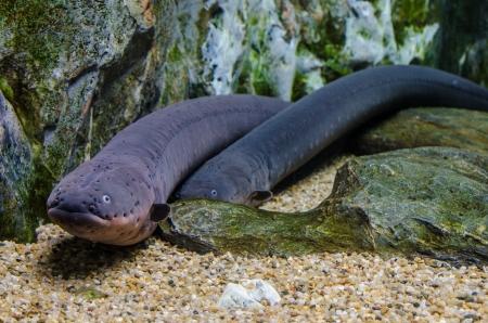 Electric eel in Aqua