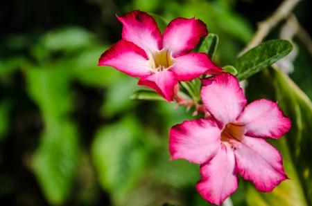 adenium obesum balf: Impala Lily  Scientific name is Adenium obesum Balf