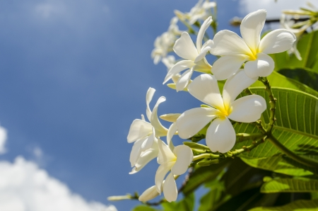 beautiful frangipani on blue sky photo