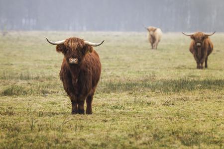 highlander: Highland cows in the farm. Anderen, Netherlands - January 2017 Foto de archivo