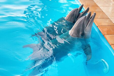 A couple of dolphins in the pool. Dolphins smile and pose Imagens