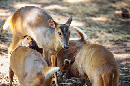 Reevess muntjac, also known as Chinese muntjac.