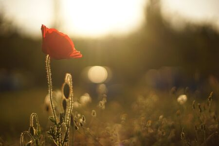 Close-up of a poppy flower, lit from behind. In the background there are beehives.