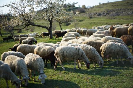 Side view of sheep grazing on a green pasture. In the background, you could see blossoming cherry trees. Archivio Fotografico
