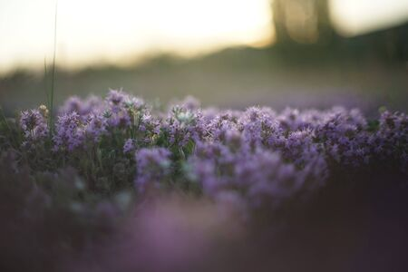 Close-up of wild thyme just before sunrise/ after sunset. The photo is in soft pastel colours and the light is coming from the back. Ideal for alternative medicine ads, tea  ads and culinary ads. Reklamní fotografie