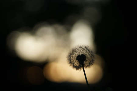 A close-up of the silhouette of a dandelion. The light is coming from behind - either sunset or sunrise.
