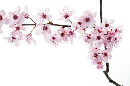 cherries isolated: Spring Blooming Flowers in Studio