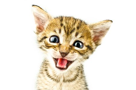 gato jugando: Gato aislado sobre fondo blanco.