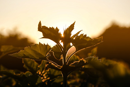 obscuring: The black silhouette of small plant obscuring light of the sun with blur nature background. Stock Photo