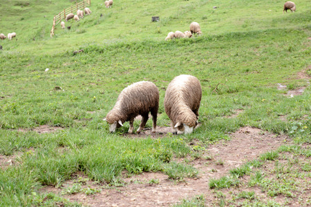 Masses of sheep are eating grass in farm. Stock Photo
