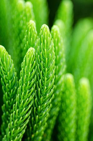 pinetree: Tropical coniferous Norfolk pine-tree