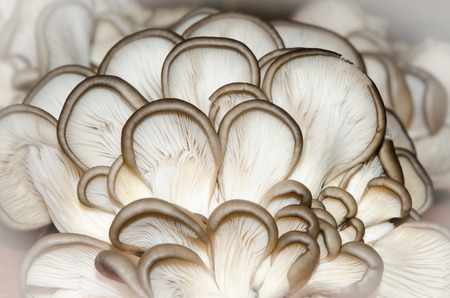 the view from below: Oyster mushrooms  Oyster mushrooms view from below