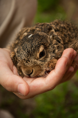 A little hare in the hands of a child