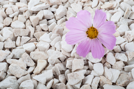 Pink flower in nature. It grows on rocks in the rock. Stock Photo