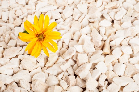 Yellow flower in nature. It grows on rocks in the rock. Stock Photo