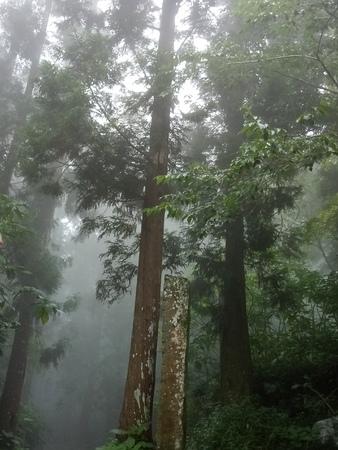 Taiwan Alishan tall trees