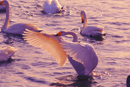 Swan stretches its wings in the sunset