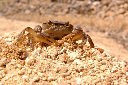 A small crab looks at the front with a pair of small eyes