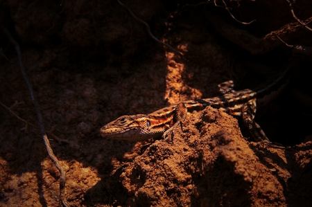 Chinese lizard Stock Photo