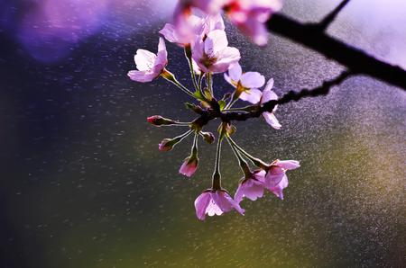 Cherry blossoms in spring rain