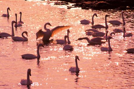 swans at lake under sunset Stock Photo