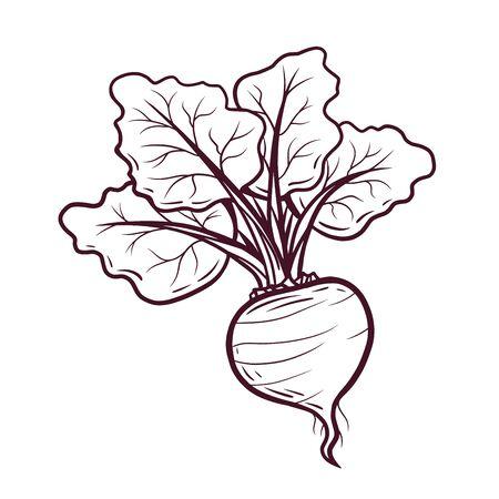 Hand drawn beet vector illustration on white background Vetores