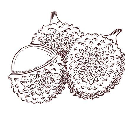 Lychee fruit, hand drawn vector illustration. Ilustracja