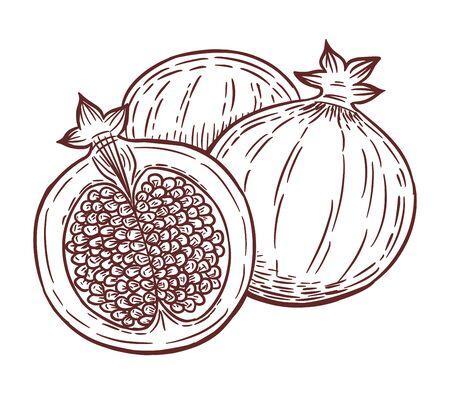 Tasty pomegranate fruit, hand drawn vector illustration.