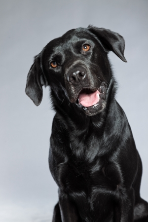black labrador: Young black labrador retriever dog. Studio shot.
