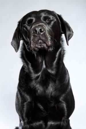 Young black labrador retriever dog. Studio shot. photo