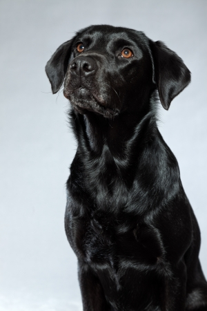 Young black labrador retriever dog. Studio shot. photo