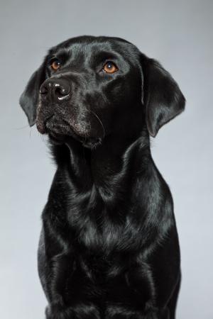 Young black labrador retriever dog  Studio shot