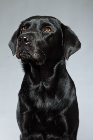 black labrador: Young black labrador retriever dog  Studio shot