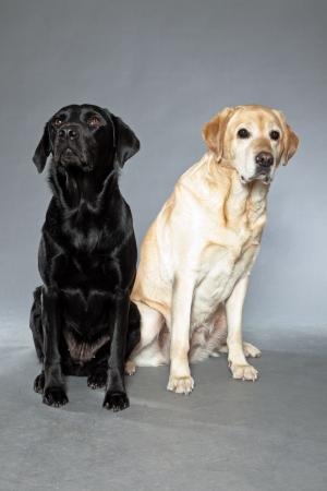 Blonde and black labrador retriever dog together  Studio shot  photo