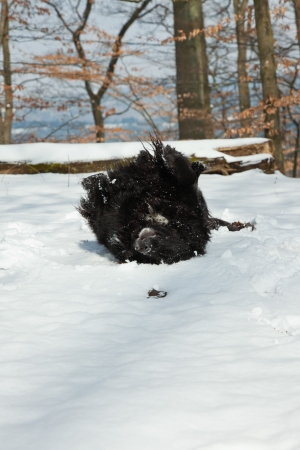 Mixed breed black dog in the snow. Labrador and Berner Sennen. Stock Photo - 18627105