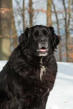 Mixed breed black dog in the snow. Labrador and Berner Sennen. Stock Photo - 18616621