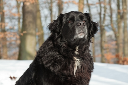 Mixed breed black dog in the snow. Labrador and Berner Sennen. Stock Photo - 18627257