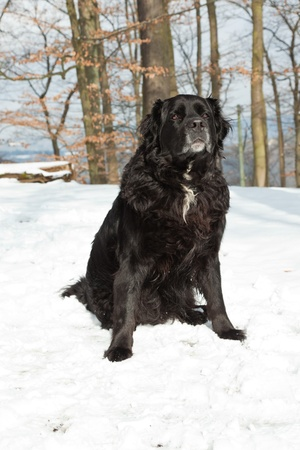 Mixed breed black dog in the snow. Labrador and Berner Sennen. Stock Photo - 18616834
