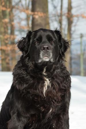 sennen: Mixed breed black dog in the snow. Labrador and Berner Sennen. Stock Photo