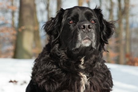 berner: Mixed breed black dog in the snow  Labrador and Berner Sennen