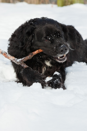 Mixed breed black dog in the snow  Labrador and Berner Sennen  Stock Photo - 18627204