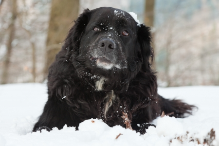 Mixed breed black dog in the snow  Labrador and Berner Sennen Stock Photo - 18616613