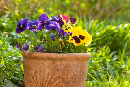 Small pansies or viola planted in clay pots in the springtime garden. photo