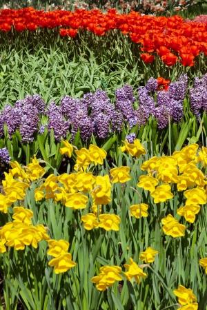 lisse: Kleurrijke bloem tuin in het voorjaar. Keukenhof. Lisse. Nederland.