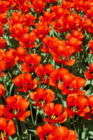 Field of red tulips in spring. Top view. photo