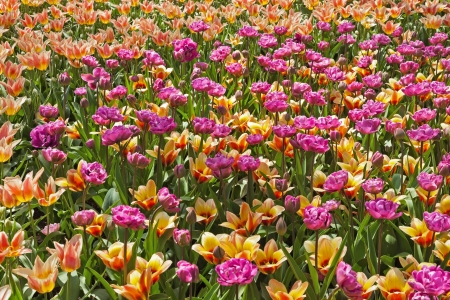 Tulips pink and orange in spring. photo
