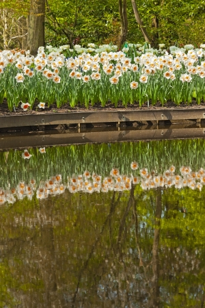 Daffodils at the edge of pond in park with reflections in water. photo