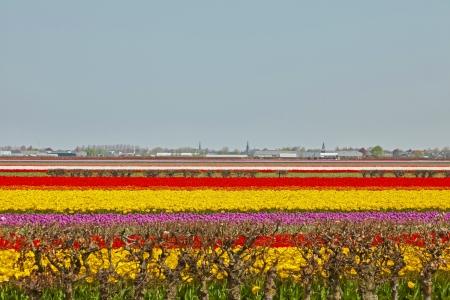 lisse: Gebied van kleurrijke tulpen bloemen. Lisse. Nederland.